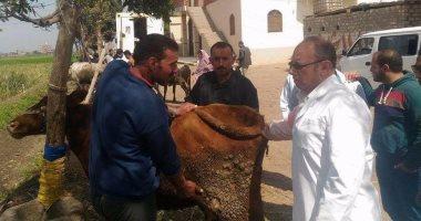 بيطرى الزقازيق : علاج و تحصين 168 ماشية من الحمى القلاعية