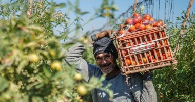 الزراعة تعلن عن طرح عروة الطماطم المبكرة نهاية نوفمبر والكيلو سيصل 3 جنيهات